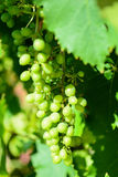 Sour green grapes Royalty Free Stock Image