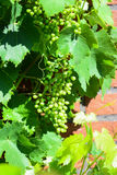 Sour green grapes Stock Photography