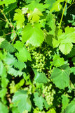 Sour green grapes Royalty Free Stock Images