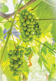 Sour Green Grapes Stock Image