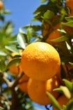 Sour oranges. Sour orange (or bigarade) on tree Royalty Free Stock Photos