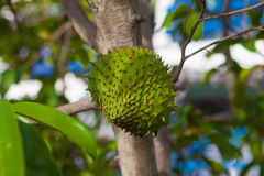 Sour sop Royalty Free Stock Photography