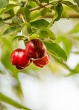Sour variety of Cherry grown in Cuba Stock Photos