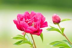Source fleurissant dans le jardin Image libre de droits
