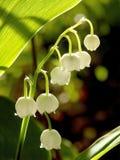 Source lilly de la vallée dans les rayons de la lumière Image stock