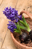 Source plantant des jacinthes Photographie stock