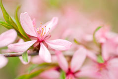 Source rose de fleurs Image libre de droits
