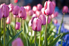Source rose de tulipes Image stock