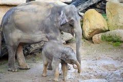 Sourire d'éléphant de bébé dans la boue avec l'éléphant smilling de mère Images stock