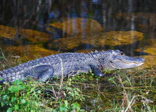 Sourire d'alligator Photo stock