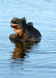 Sourire d'iguane marin photos stock