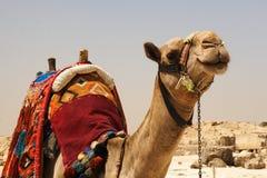 Sourire de chameau Image libre de droits