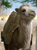 sourire de chameau images libres de droits