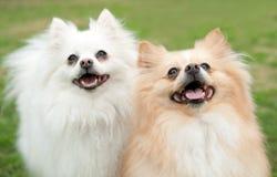 Sourire de deux petit chiens photo libre de droits