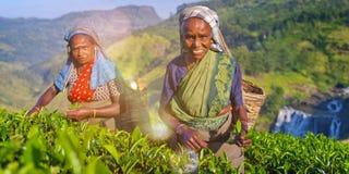 Sourire de deux récolteuses de thé comme ils sélectionnent le concept de feuilles image libre de droits