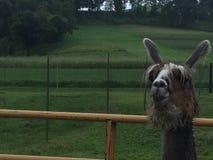 Sourire de lama Image libre de droits
