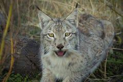 Sourire de Lynx Photo libre de droits
