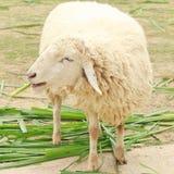 Sourire de moutons blancs mangeant l'herbe Photo stock