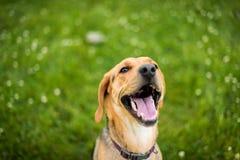 Sourire de race mélangé par labrador retriever de chien Photos libres de droits