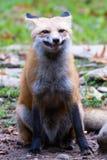 Sourire de renard rouge Image libre de droits