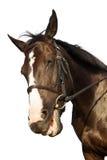 Sourire drôle de cheval au-dessus du fond blanc Photographie stock libre de droits