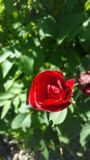 Sourire du ` s de Rose au printemps Images libres de droits