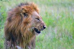 Sourire masculin de lion (Panthera Lion) Photographie stock libre de droits