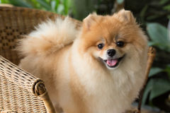 Sourire mignon d'animal familier de chien pomeranian heureux images stock