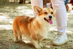 Sourire mignon de chien de race de Pembroke de corgi de Welch photographie stock libre de droits