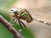 Sourire vert de libellule photos libres de droits