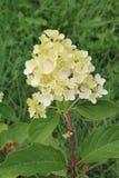 Sourires blancs de fleur d'hortensia au soleil Fleur blanche d'hortensia sur le fond d'isolement image stock