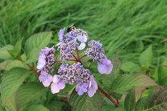 Sourires bleus de fleur d'hortensia au soleil Fleur d'hortensia sur un fond d'isolement photos libres de droits