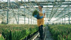Sourires de travailleur de serre chaude tout en marchant avec des tulipes dans des mains banque de vidéos
