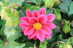 Sourires royaux lumineux de chrysatems au soleil Fleur de Chrysatema sur le fond d'isolement image libre de droits