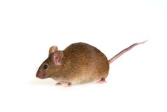 Souris Photo stock
