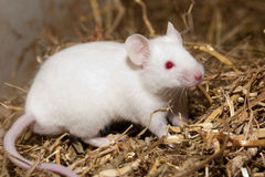 Souris blanche Photo stock