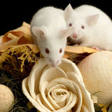 Souris blanche images stock