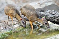 Souris-cerfs communs, animal indigène vers Asie du Sud-Est Photos libres de droits