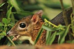 Souris-cerfs communs de Java photographie stock libre de droits