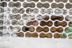 Souris dans un piège vivant de crochet Photo stock