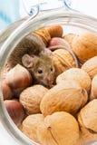 Souris de Chambre (musculus de Mus) dans la noix et le maïs image libre de droits