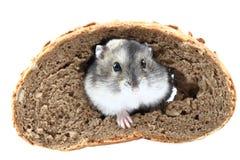 Souris de Dzungarian et le pain image stock