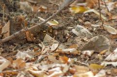 Souris en bois de petite forêt faisant une pointe du trou Photographie stock