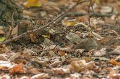 Souris en bois de petite forêt faisant une pointe du trou Photo stock
