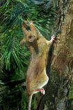 souris en bois Jaune-étranglée (flavicollis d'Apodemus) Photos libres de droits