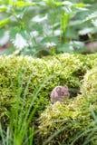 Souris en bois sauvage de Brown se reposant sur la mousse dans la forêt, plan rapproché Image stock