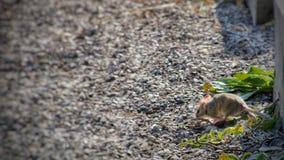 Souris en bois sauvage se reposant sur un bâton sur le plancher de forêt Photographie stock