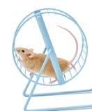 Souris exerçant la roue de hamster Photos libres de droits
