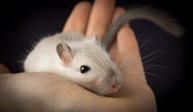 Souris mignonne d'animal familier Images libres de droits