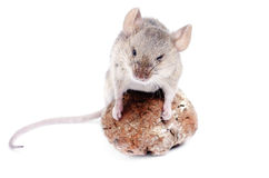 Souris. Minutus de Micromys Photo libre de droits